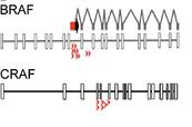 PIggyBac Transposon Insertions