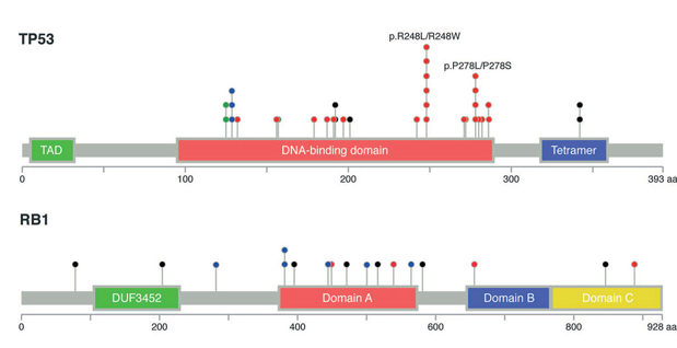 TP53 Mutations in MCC